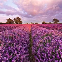 1_615_Lavendel_hd.jpg